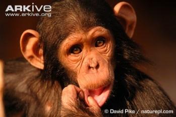 Cría de chimpancé (Crédito: David Pike - Arkive Licence)