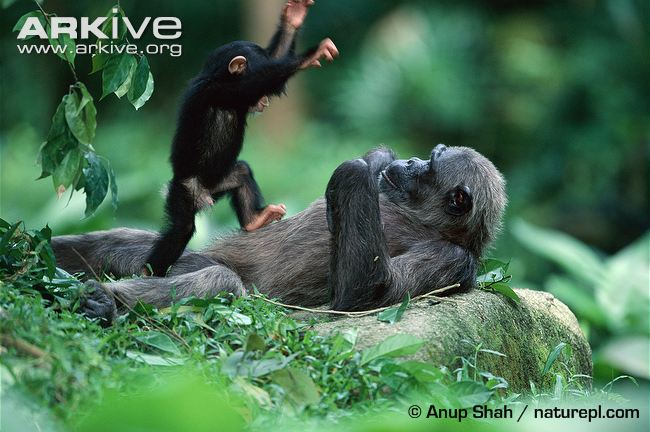 Young-chimpanzee-playing-with-adult