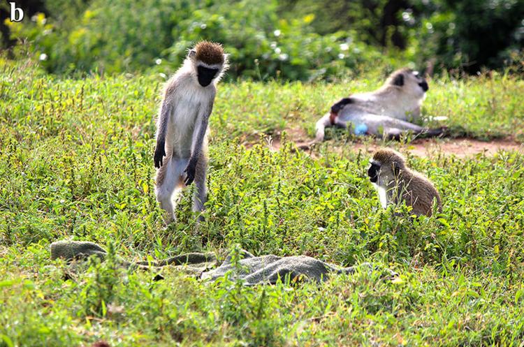 mono erguido