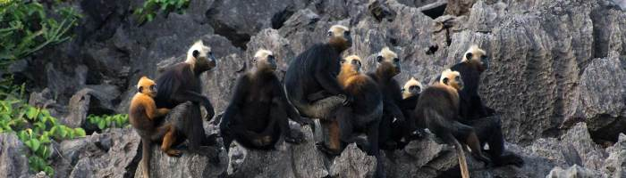 cat-ba-langur-conservation-project-1